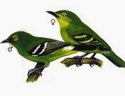 Burung Sirtu- Ciri-Ciri Burung Sirtu- Ciri-Ciri Sirtu/Cipeuw/Cipoh Betina dan Ciri-Ciri Sirtu/Cipeuw/Cipoh Betina-Burung Sirtu sekilas adalah burung yang memiliki tubuh menyerupai decu, hanya dibedakan dengan warna yang berbeda yaitu berwarna kuning kehijauan. Burung Sirtu jantan dan betina terlihat sangat mirip untuk membedakan keduanya bisa dengan cara sebagai berikut :   Ciri-Ciri Sirtu/Cipeuw/Cipoh Jantan Warna bulunya lebih terang dan tegas Sorot mata yang lebih tajam Bulu dada yang sering merekah Ekor yang lebih panjang Memiliki suara yang lebih tegas ,nyaring dan lebih bervariasi Memiliki badan tegak dengan cengkraman kaki yang kuat Memiliki warna lidah lebih hitam   Ciri-Ciri Sirtu/Cipeuw/Cipoh Betina Warna bulu yang agak memudar Sorot mata yang sayu Dada lebih kecil Ekor lebih pendek Badan lebih kecil Lidah berwarna putih dengan suara yang tak senyaring dan se-variasi pejantan.