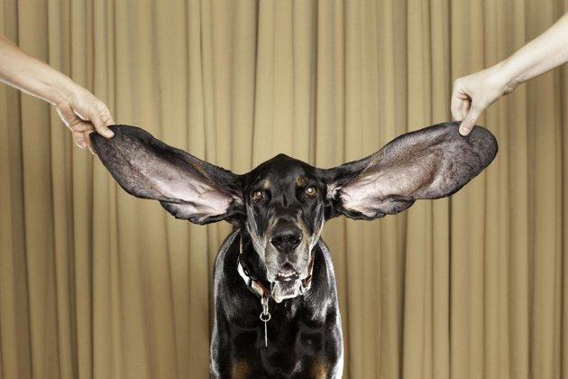 Longest Ears
