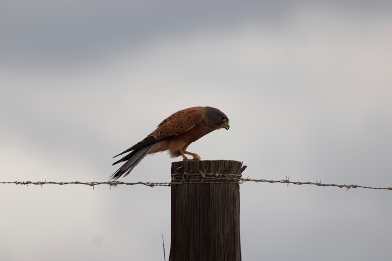 Falconiformes. sub Falconidae - sub fam Falconinae - gênero Falco - Página 2 Rock+Kestrel+-+Traveller%2527s+Rest+-+Cederberg+-+March+2011