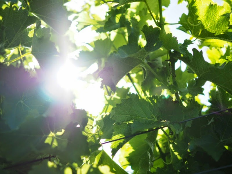 vines, vineyard, sunlight