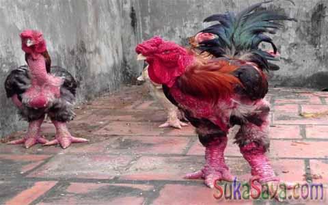 Ada Yang Aneh Dengan Ayam Dari Vietnam Ini, Coba Deh Perhatikan...