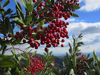 Toyon (Heteromeles arbutifolia) on Glendora Mountain ridge, Angeles National Forest