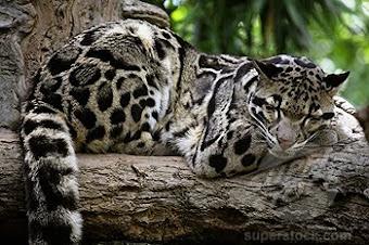 MACAN TUTUL SUNDA (sunda clouded leopard)