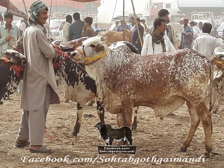 Zahir Pir Chowk Mandi 2014 Cattle market 2014