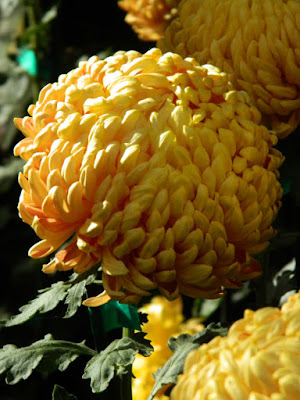 Yellow incurve mum at Allan Gardens Conservatory 2015 Chrysanthemum Show by garden muses-not another Toronto gardening blog