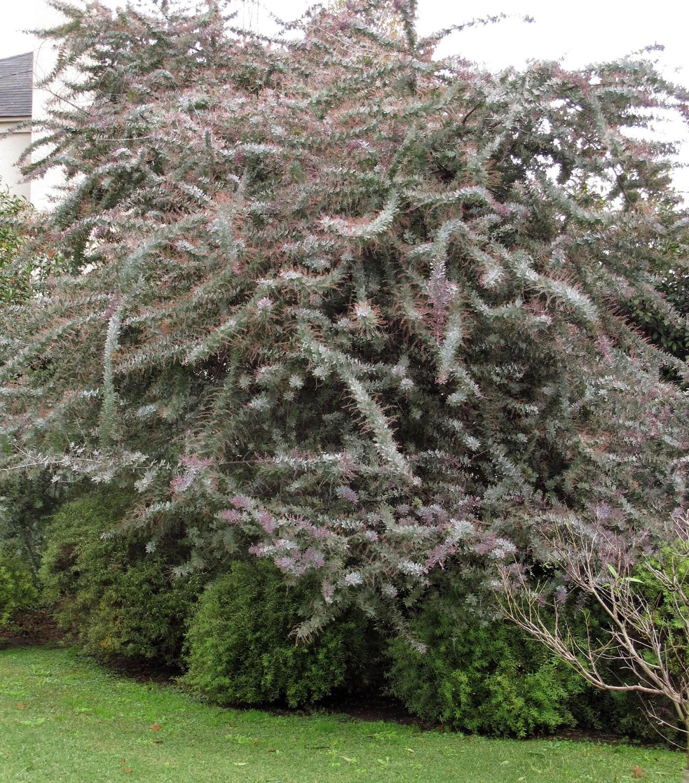 En el jardin aromos y acacias for Tipos de arboles y caracteristicas