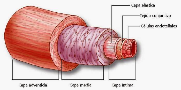Sistema Cardiovascular: Vasos Sanguíneos