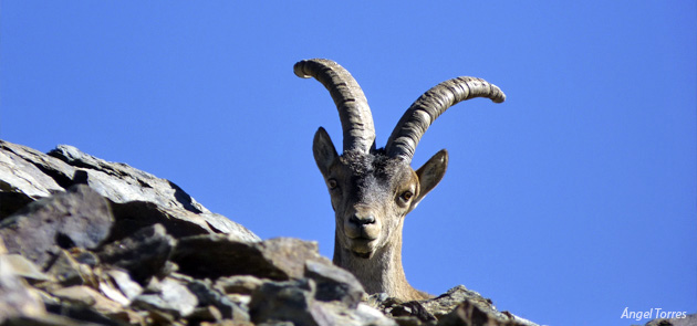 Cornamenta de la Cabra Montés