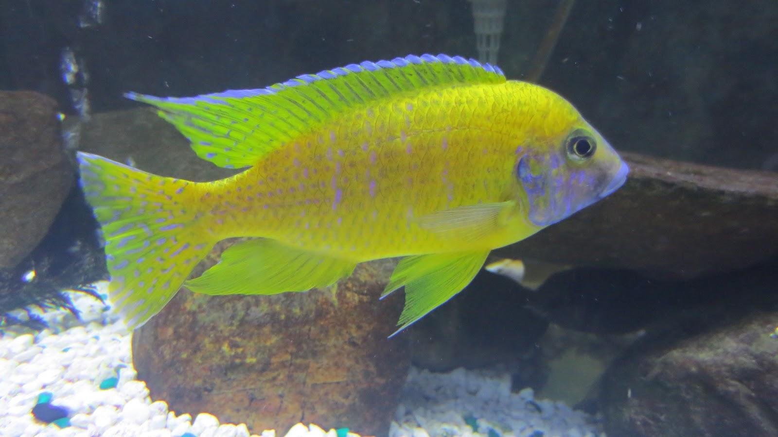 mal/tang fish: Aulonocara baenschi Benga Peacock , 1-17-13