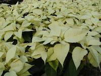 Poinsettia-Snowcap.bmp