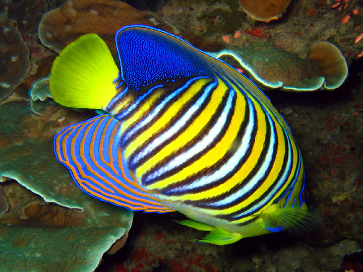Angelfish - Fishes