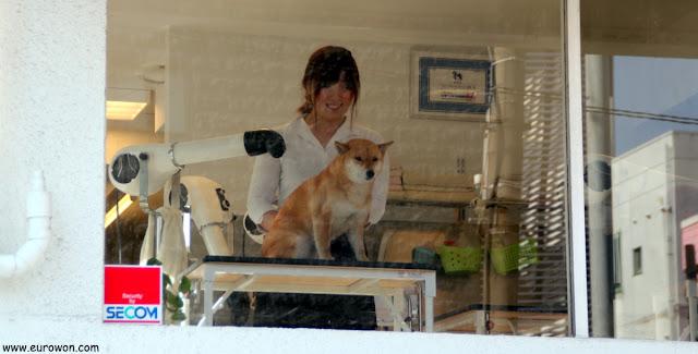 Japonesa acicalando un perro