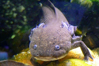 The Axolotl also known as Mexican walking fish