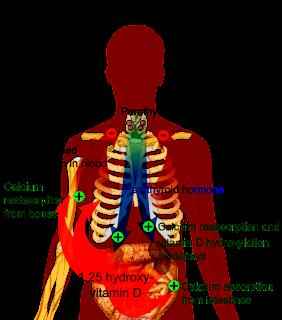 calcium metabolism