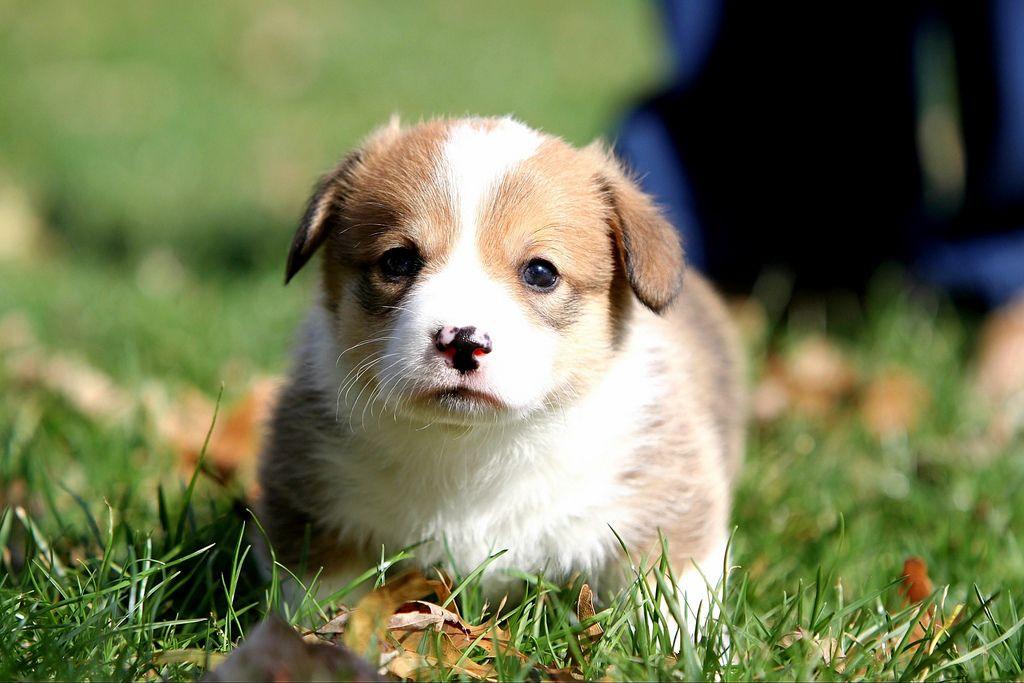 30. Corgi Puppy