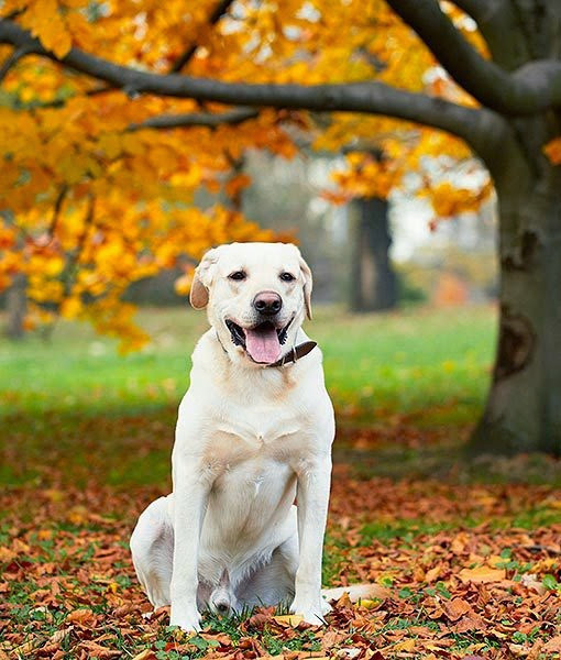 Labrador Retriever Dog History