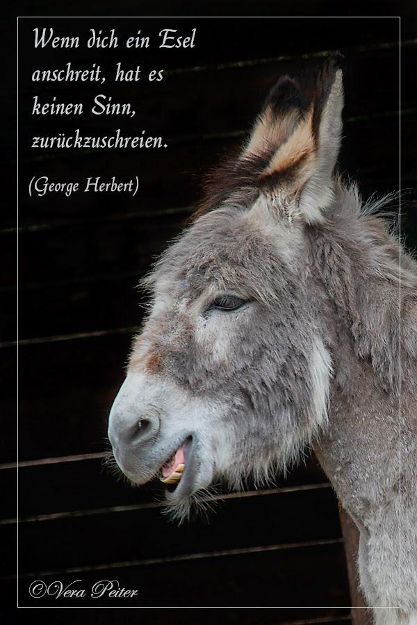 über schreiende Esel