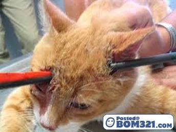 Kepala Kucing Tercucuk Panah