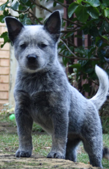 Blue Heeler puppy guarding the ground