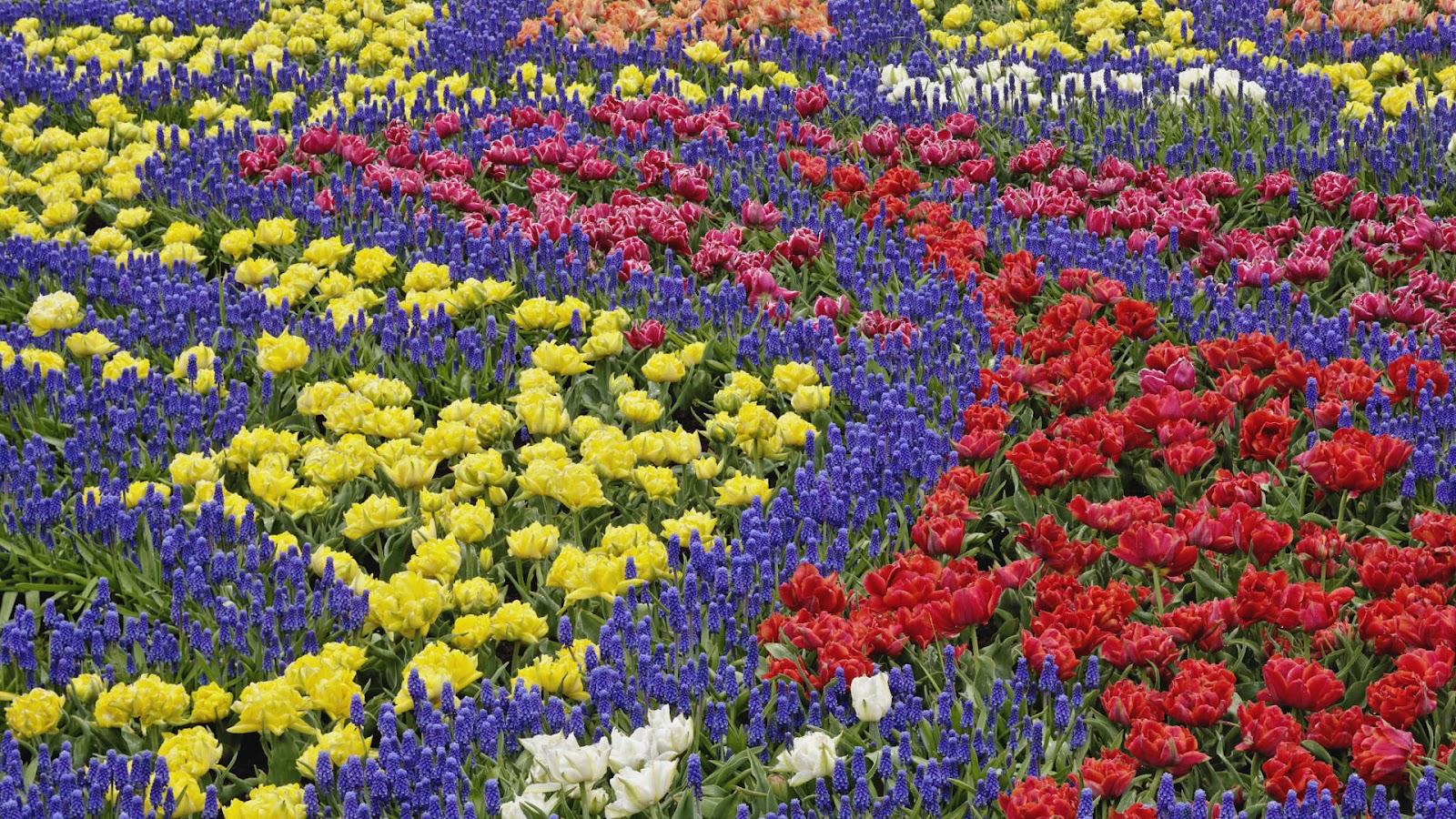 http://4.bp.blogspot.com/-UZ85pg7ew6A/T75yKdIk5_I/AAAAAAAAA20/3ul9_LdN0Kc/s1600/nice-wallpapers-Desktop-Flower-Patterns-Gardens-Netherlands-background-ajd-1920x1080.jpg