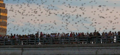 Bats Emerge from Ann Richards Congress Avenue Bridge in Austin, Texas