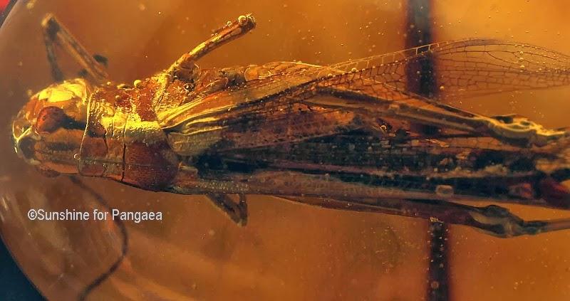 Grasshopper in amber