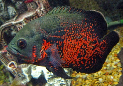 Makanan ikan oskar, Astronotus,Astronotus ocellatus, Ikan Oscar, umpan jitu mancing ikan Oscar, rahasia umpan, resep umpan, Macam-macam Teknik Mancing, ampuh, Ragam, Ikan Hias,umpan alami,Umpan jitu,