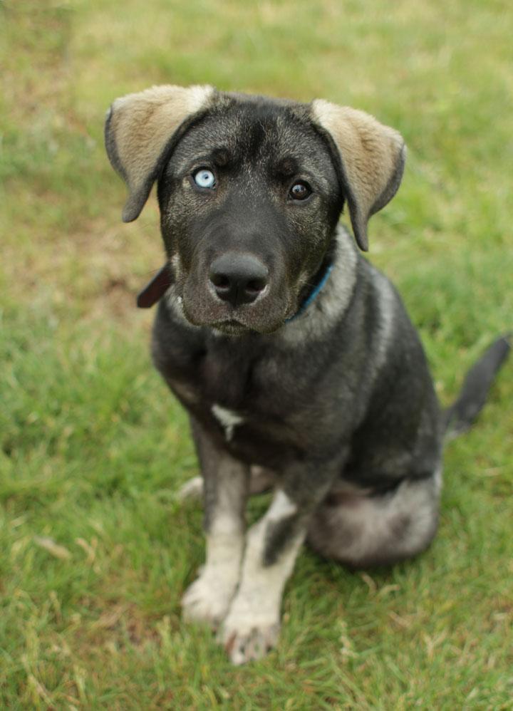 Cute Dogs: German Shepherd Lab Mix
