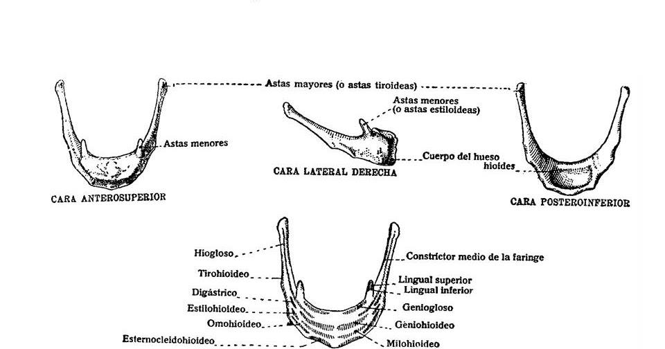ATLAS DE ANATOMÍA HUMANA: 154. HUESO HIOIDES.