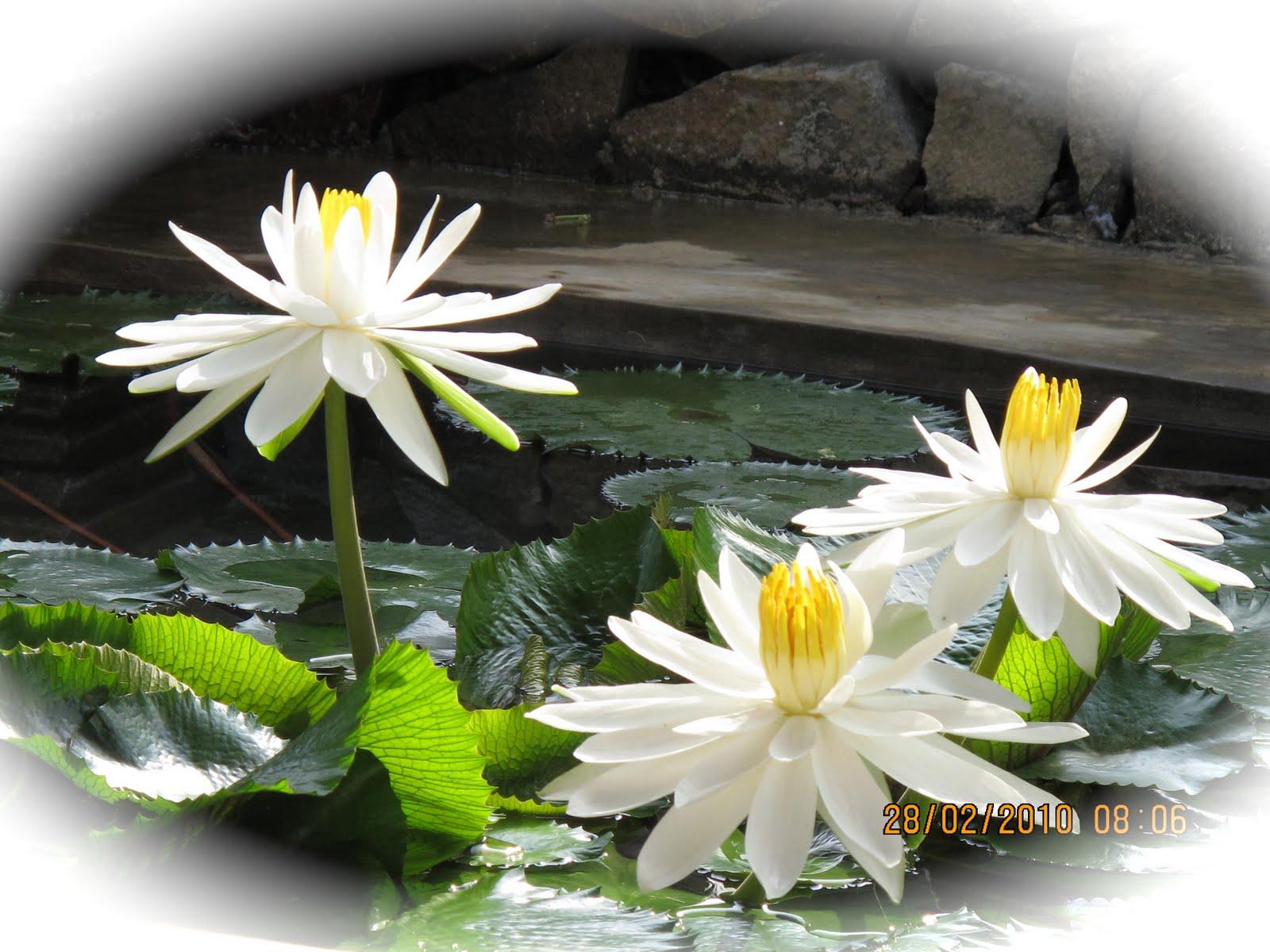 http://4.bp.blogspot.com/-UZzZQiqV33o/TdIcjeZDHRI/AAAAAAAABXc/tiR8bVbjY2A/s1600/Bunga-Hias-Teratai-Putih-2.jpg