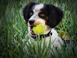Dog with ball in mouth picture