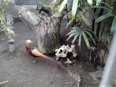 Tips sukses ternak ayam pheasant