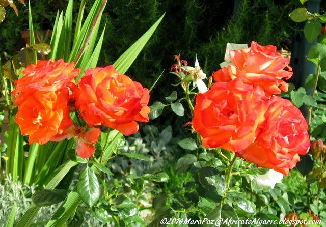 roses - peachy