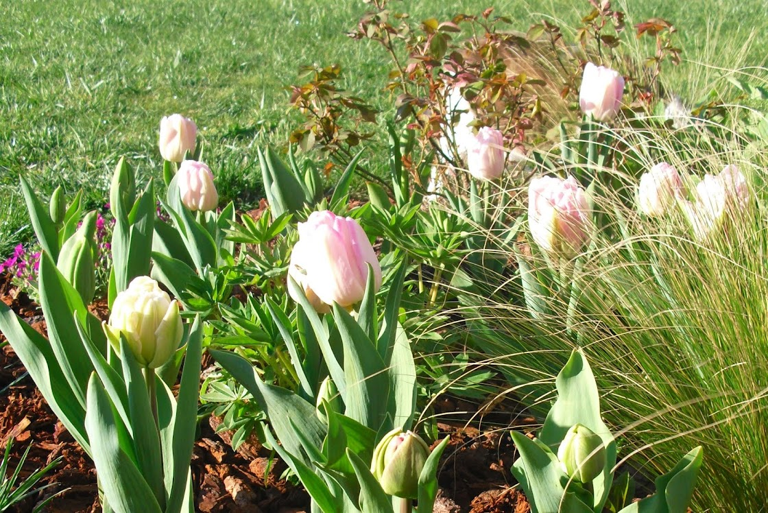 Le réveil des tulipes