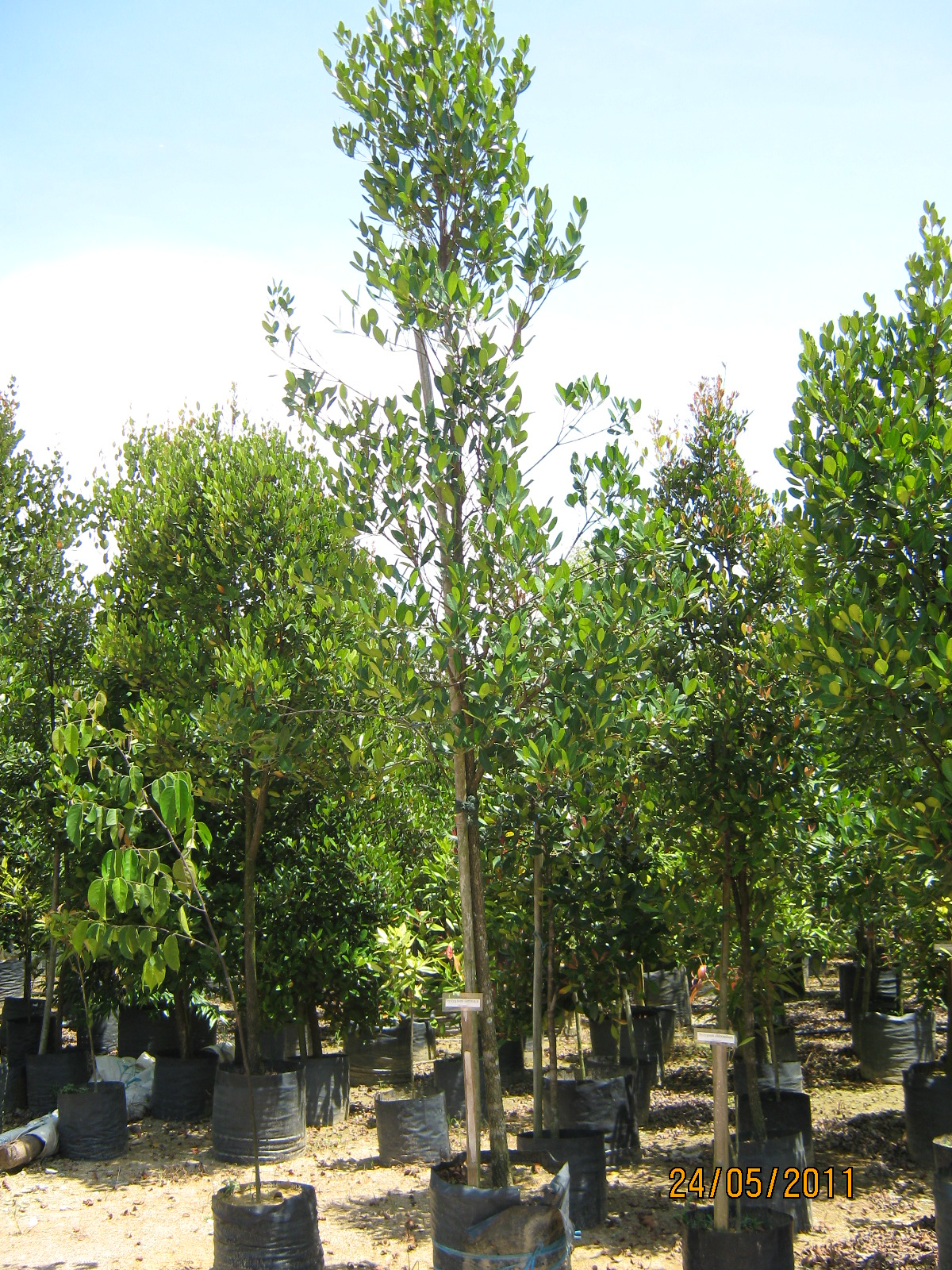 TROPICAL PLANT LIBRARY: Garcinia cambogia/ Kandis-malabar tamarind