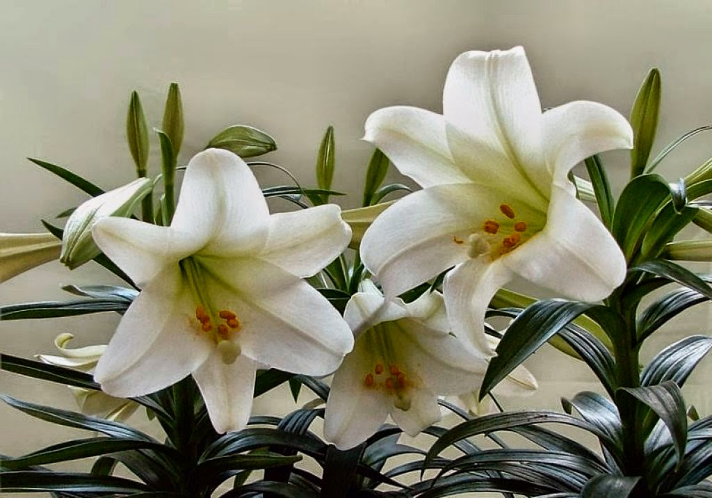 The easter lily information brought to you from mayfield florist for many of us easter is a time for egg decorating gift baskets chocolate bunnies church services family spring and of course the easter lily negle Choice Image