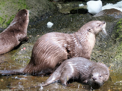 River Otters at the Oregon Zoo