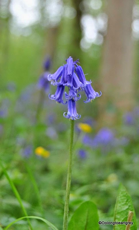 Bluebells, UK