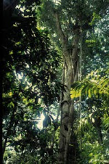 Rainforest Strangler Fig