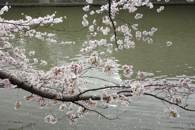 Sakura at Meguro river 2013