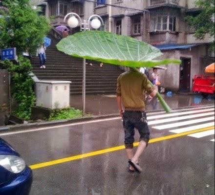 A falta de paraguas buenas son hojas de loto enormes.