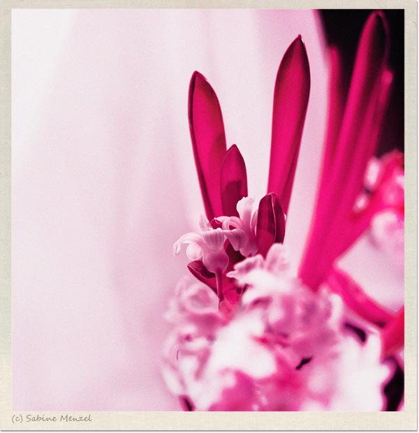 Psynopsis Pink Hyacinth
