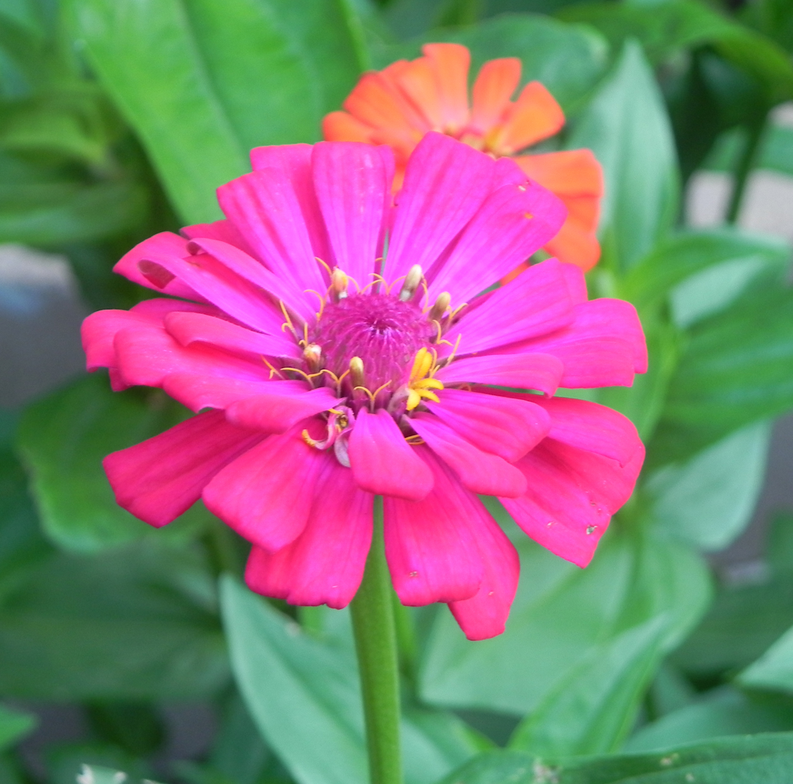 trying a couple of new Zinnia varieties this year  So far  quot Cha Cha    Zinnia Varieties