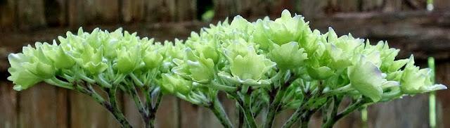 hydrangea blossoming