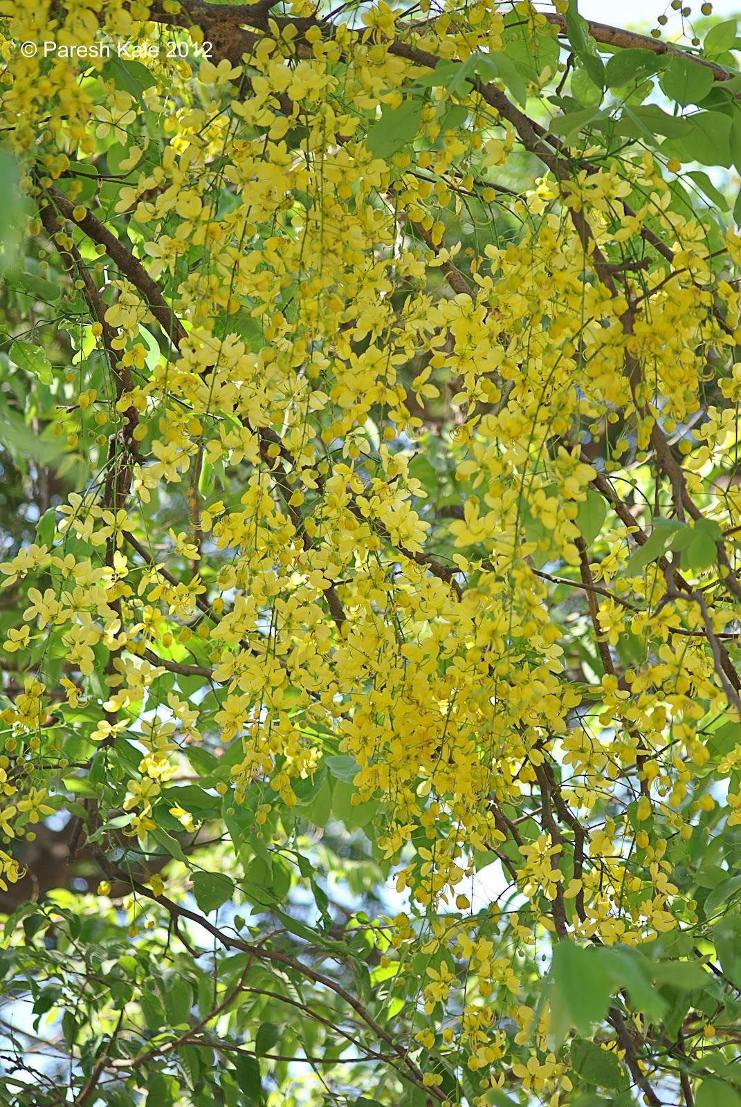 Small bahava tree - Trees that bloom yellow flowers ...