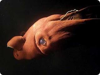 Ikan Vampir - Binatang Langka dan Aneh