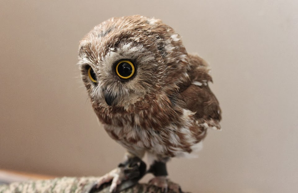 Funny animals of the week - 7 February 2014 (40 pics), cute baby owl picture