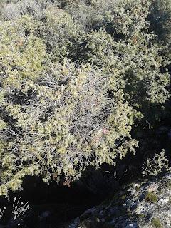 Enebro rojo con ramas muertas. Foto Pedro de Hoz