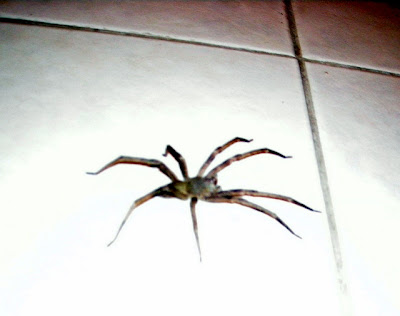 Big Honduran spider