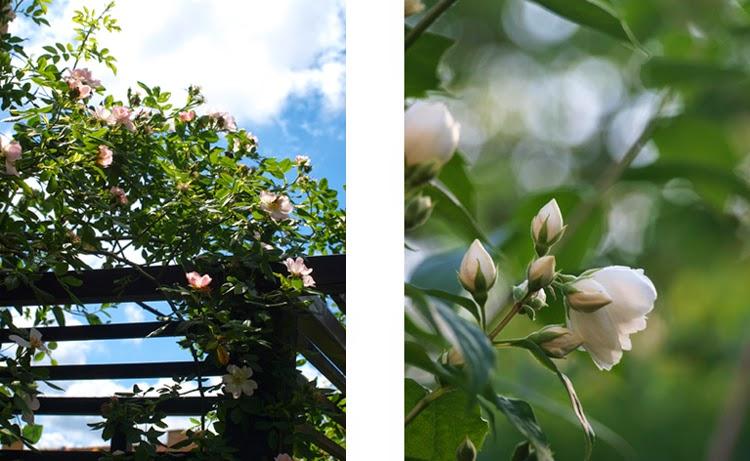 Duftende roser og uægte jasmin som romantisk kontrast til maskulint haverum